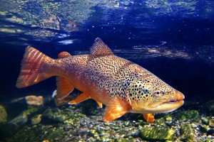 brown trout blog picture